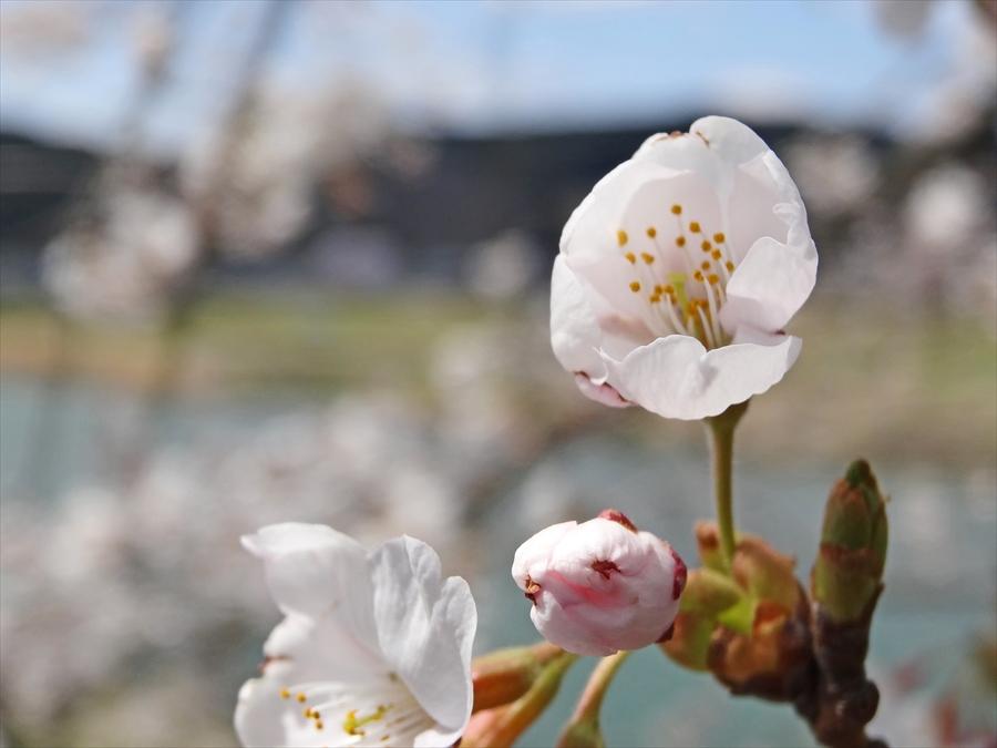 白石川千本桜その1遊歩道桜花アップ13
