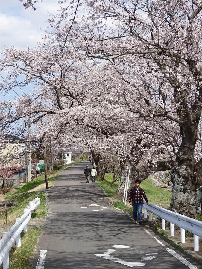 白石川千本桜その1遊歩道サクラのトンネル14