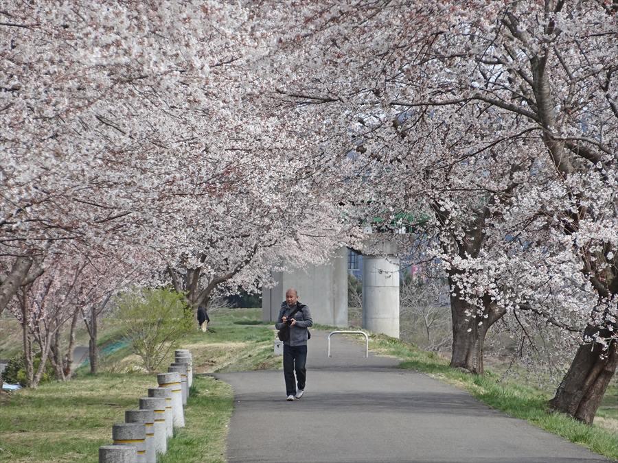 白石川千本サクラその1遊歩道サクラのトンネル男性一人15