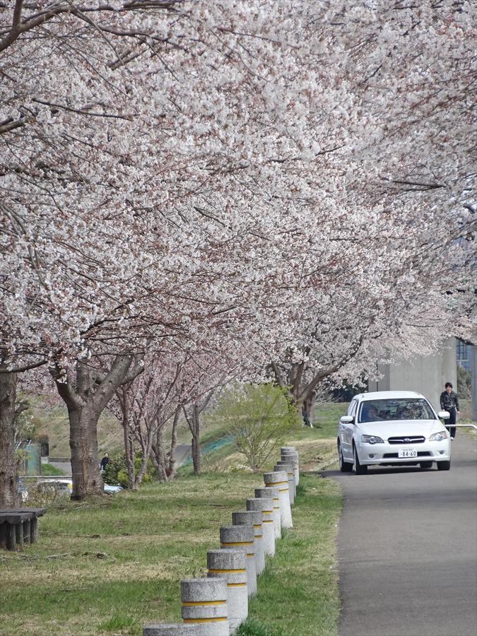白石川千本桜その1遊歩道サクラのトンネル車16