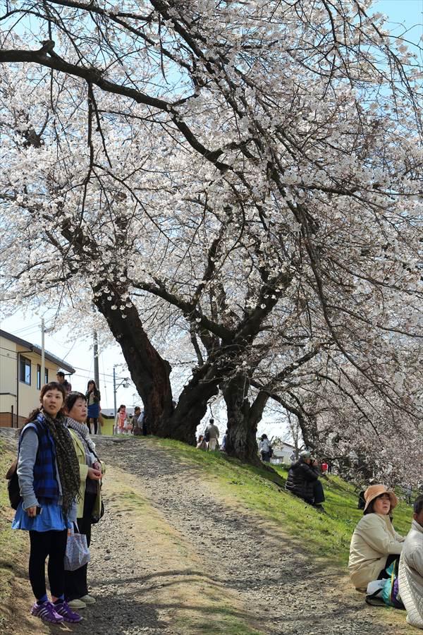 白石川千本桜その1の2人と桜02