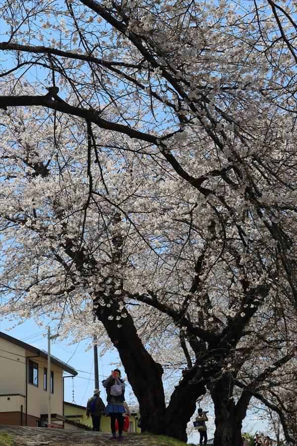 白石川千本桜その1の2人と桜04