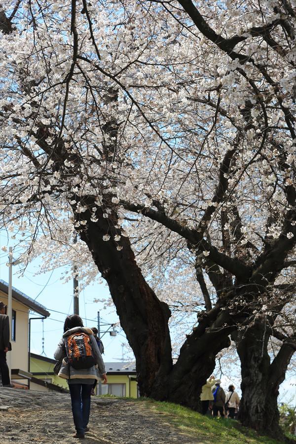 白石川千本桜その1の2人と桜05