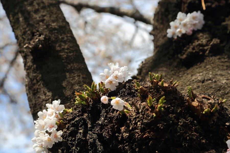 白石川千本桜その1の2幹の桜花07