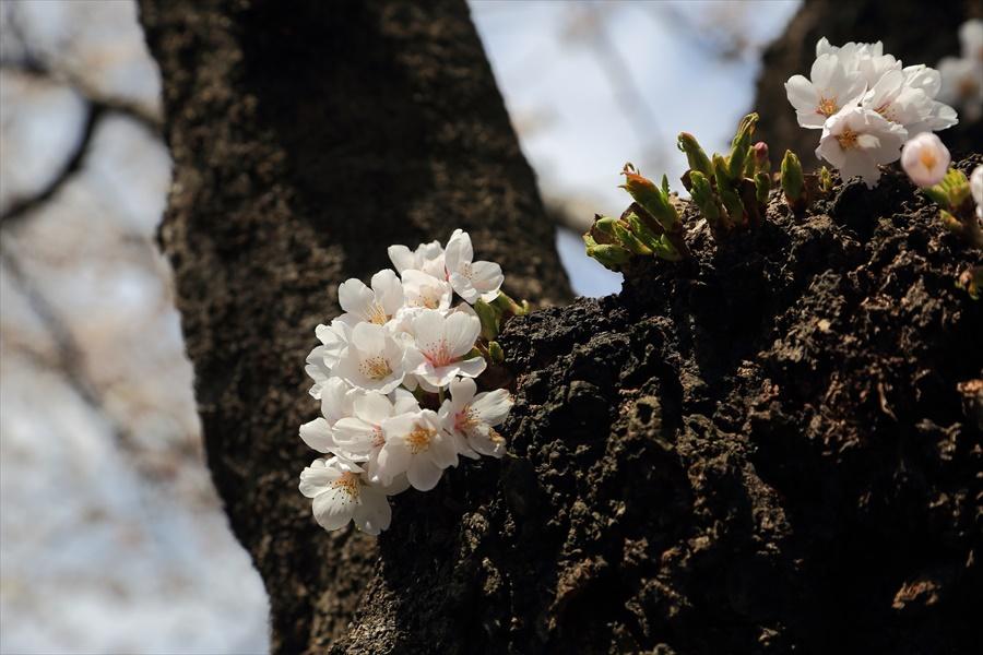 白石川千本桜その1の2幹の桜花08