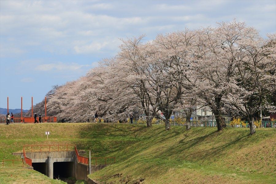 白石川千本桜その2土手脇15