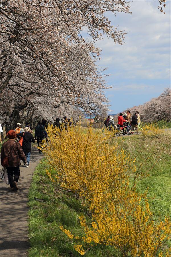 白石川千本桜その2土手桜と黄色花16