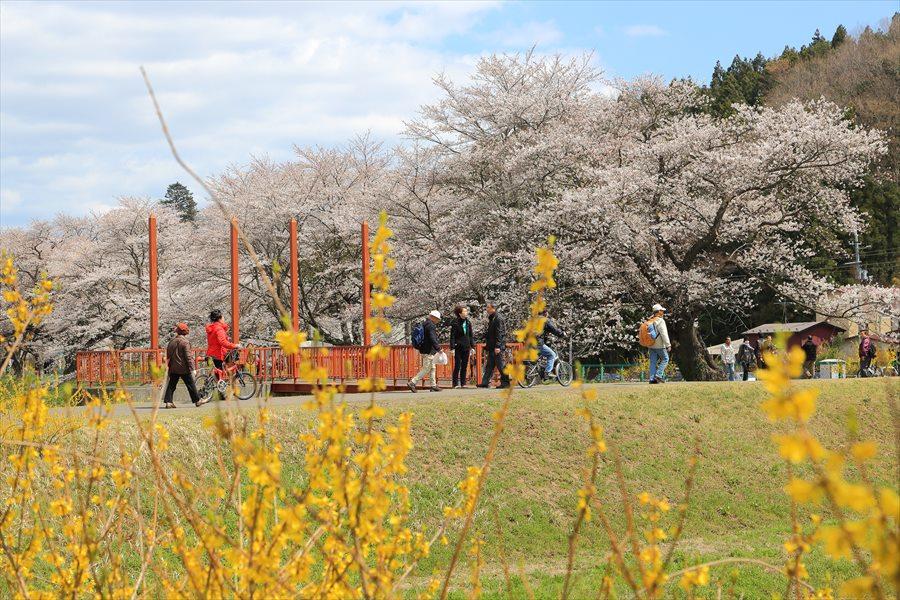 白石川千本桜その2黄色い花ごしの桜17