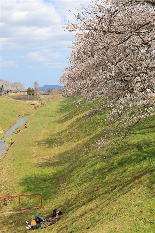 白石川千本桜その2水門脇斜面カップル19