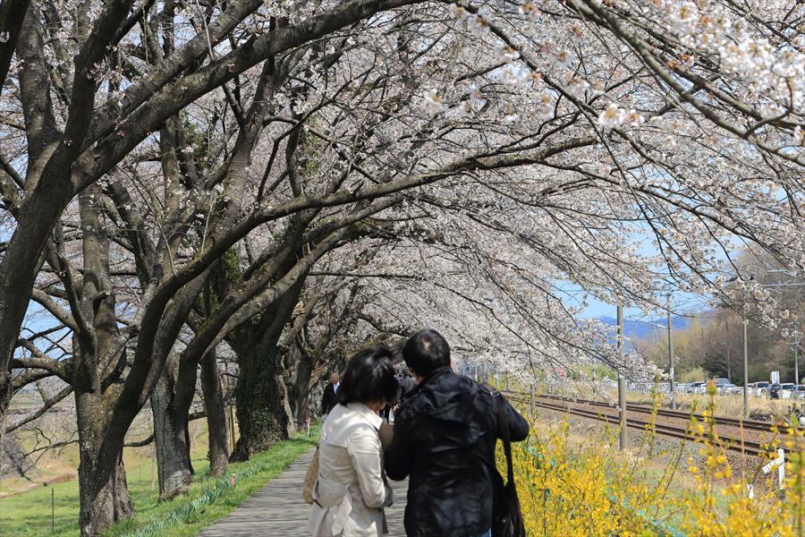 白石川千本桜その1の2夫婦11