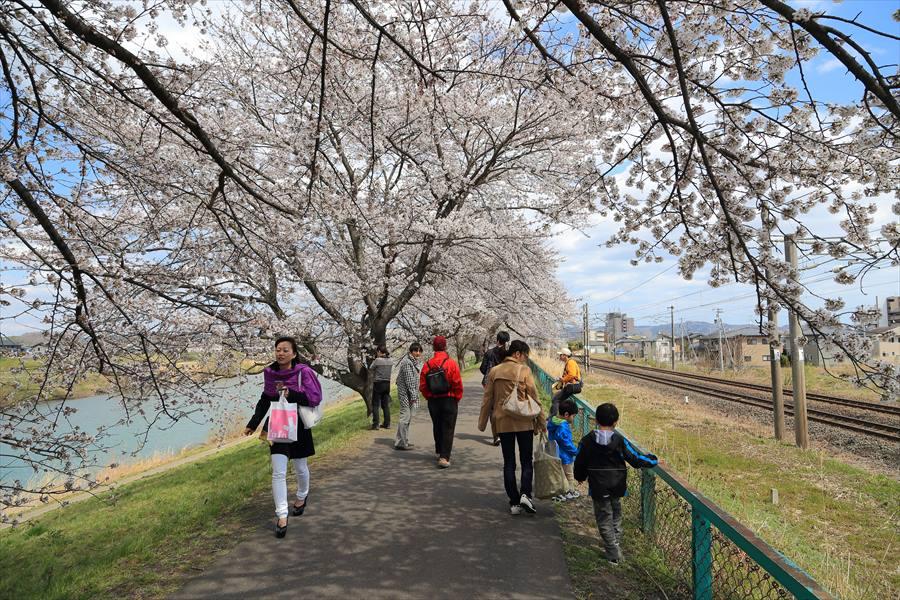 白石川千本桜その1の2明るい遊歩道12