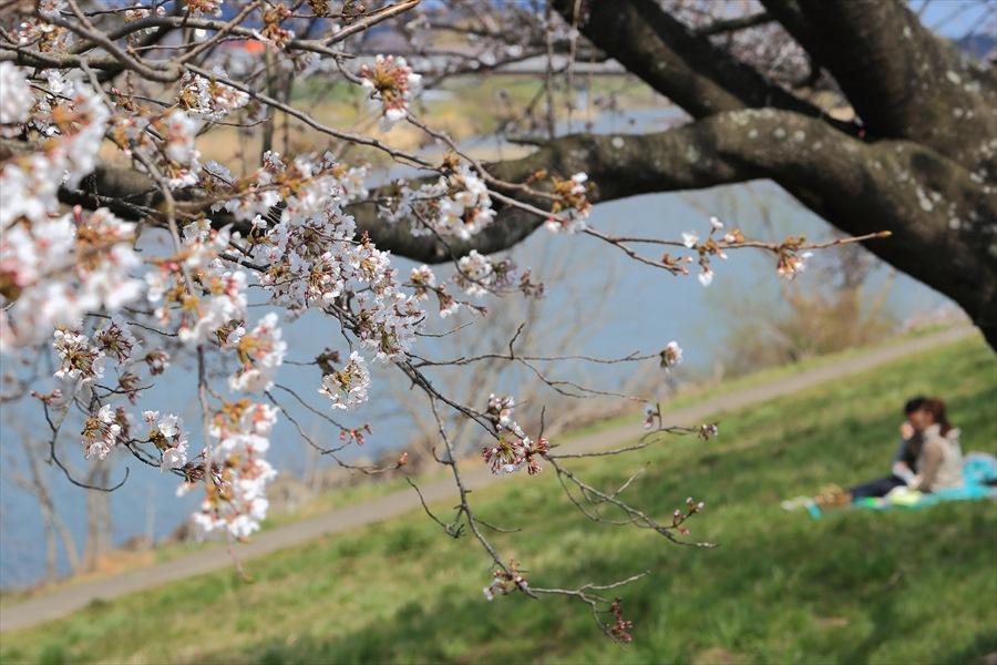 白石川千本桜その1の2ひと時カップル13