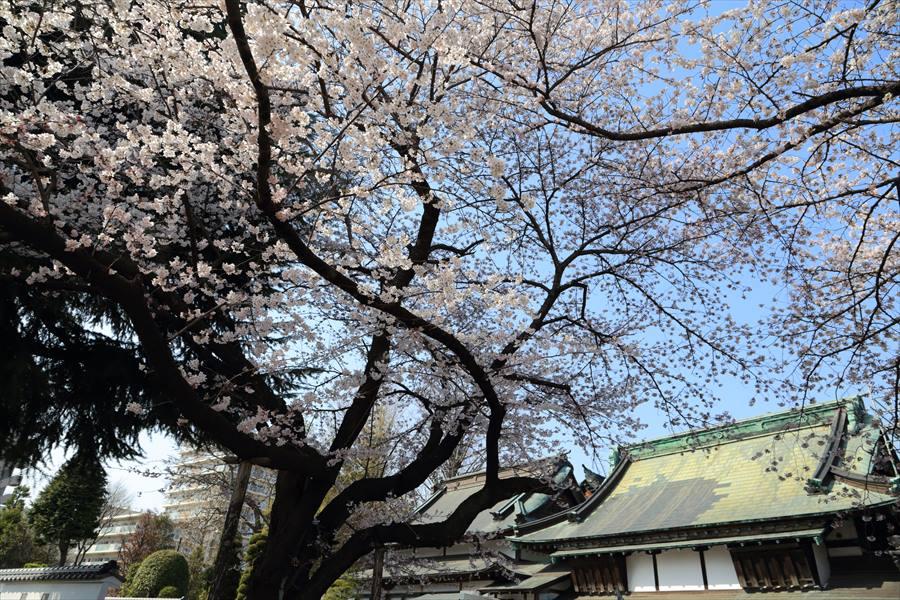 近隣お寺桜03