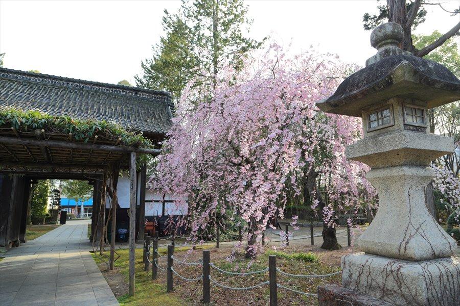 近隣お寺山門としだれ桜09