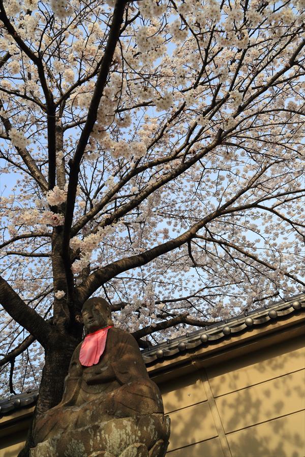 近隣お寺お地蔵さんと桜11
