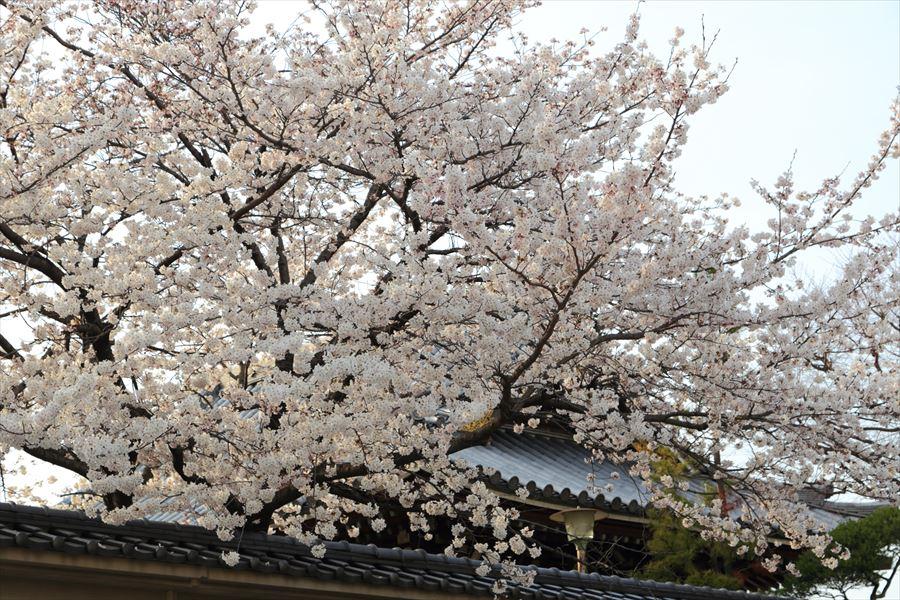 近隣お寺屋根と桜12