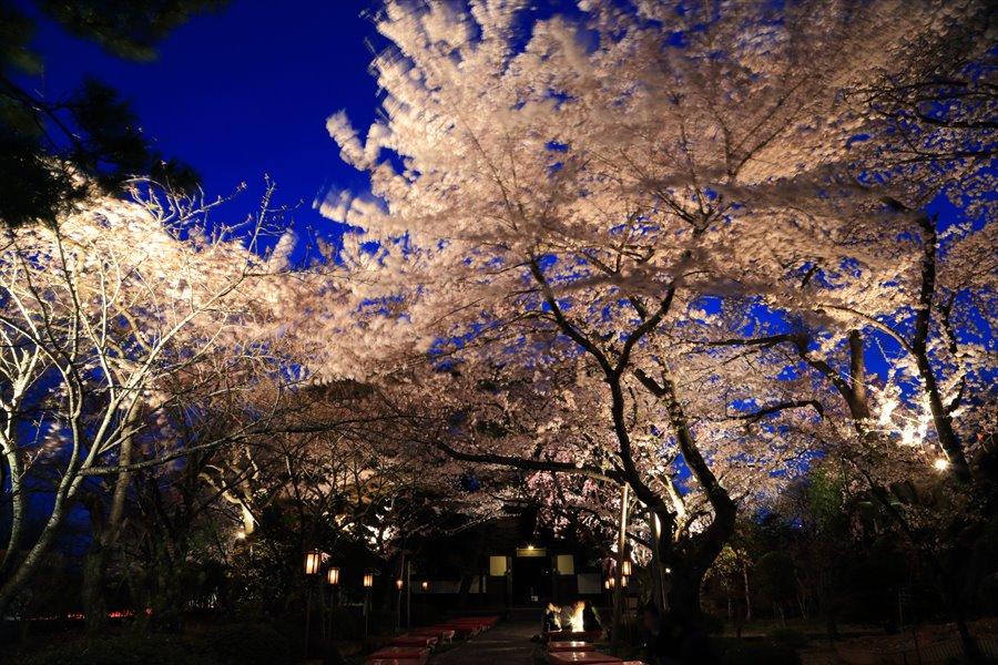 近隣お寺夜桜01
