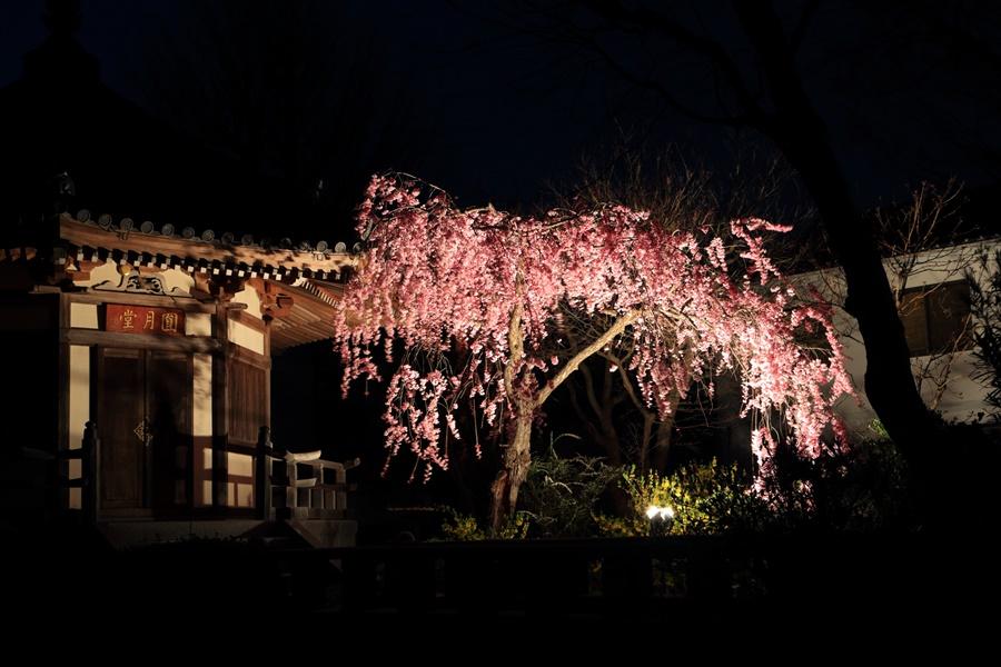 近隣お寺夜桜御堂と桜03