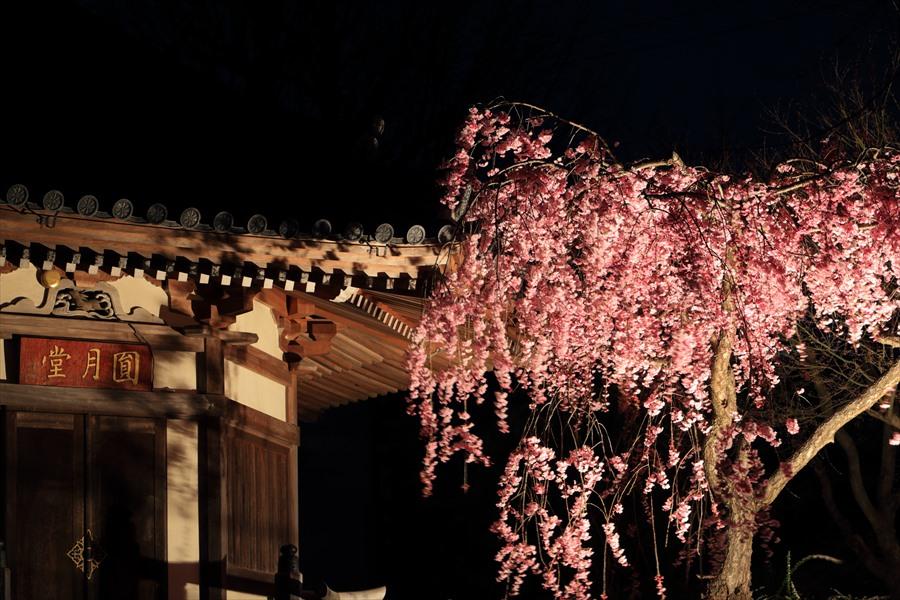 近隣お寺夜桜御堂アップ04
