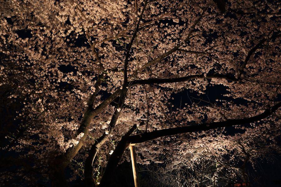 近隣お寺夜桜桜広がり05