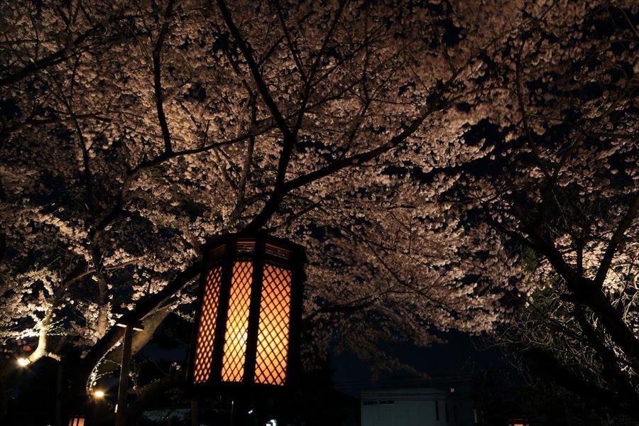 近隣お寺夜桜御灯り06