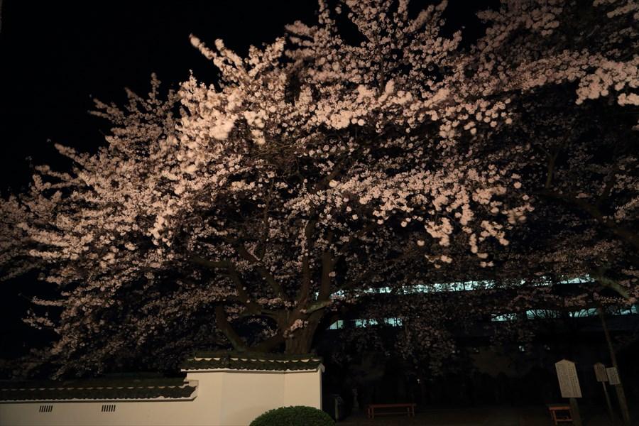 近隣お寺夜桜塀と桜07