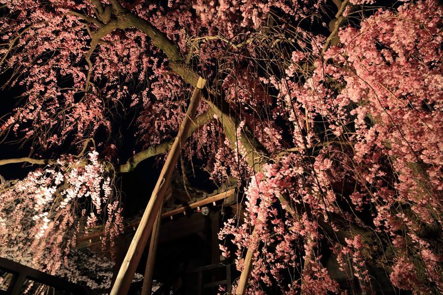 近隣お寺夜桜しだれ桜09