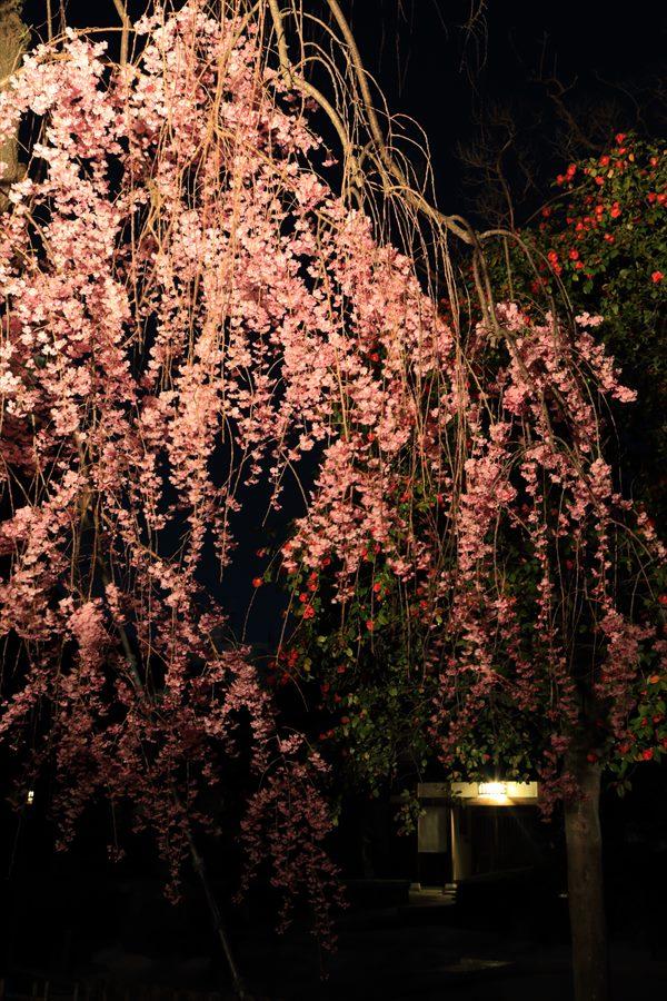 近隣お寺夜桜しだれ桜10