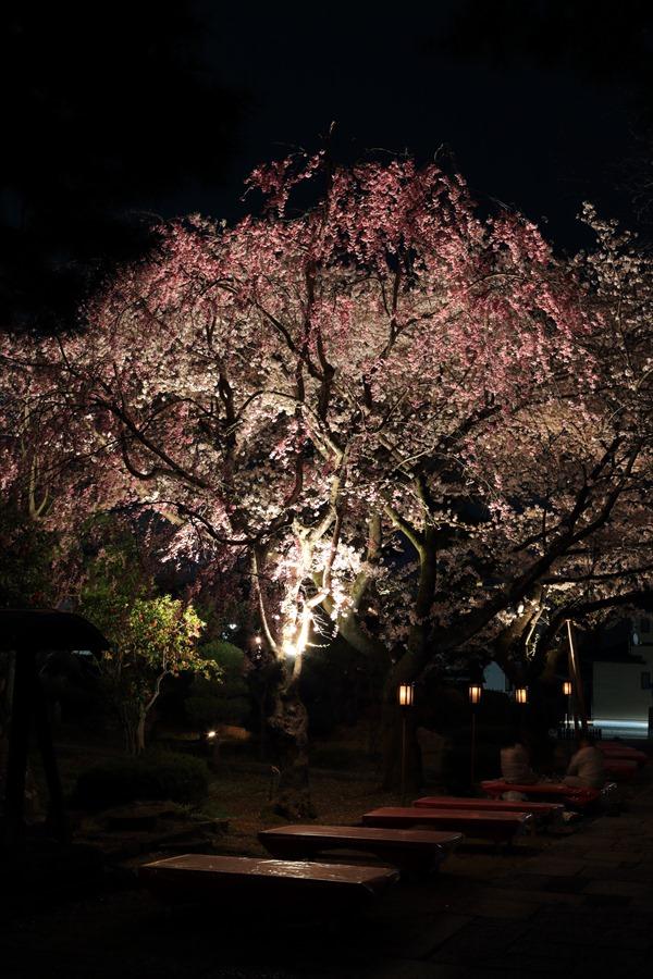 近隣お寺夜桜回廊11