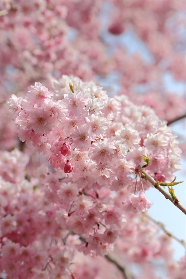 仙台榴岡公園桜花しだれ桜アップ08
