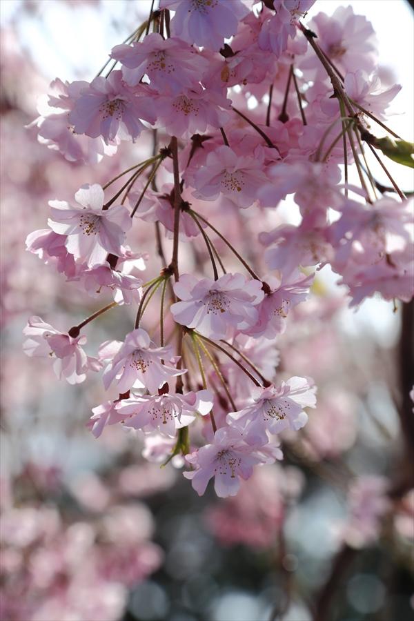 仙台榴岡公園桜花見しだれ桜逆光しだれ07