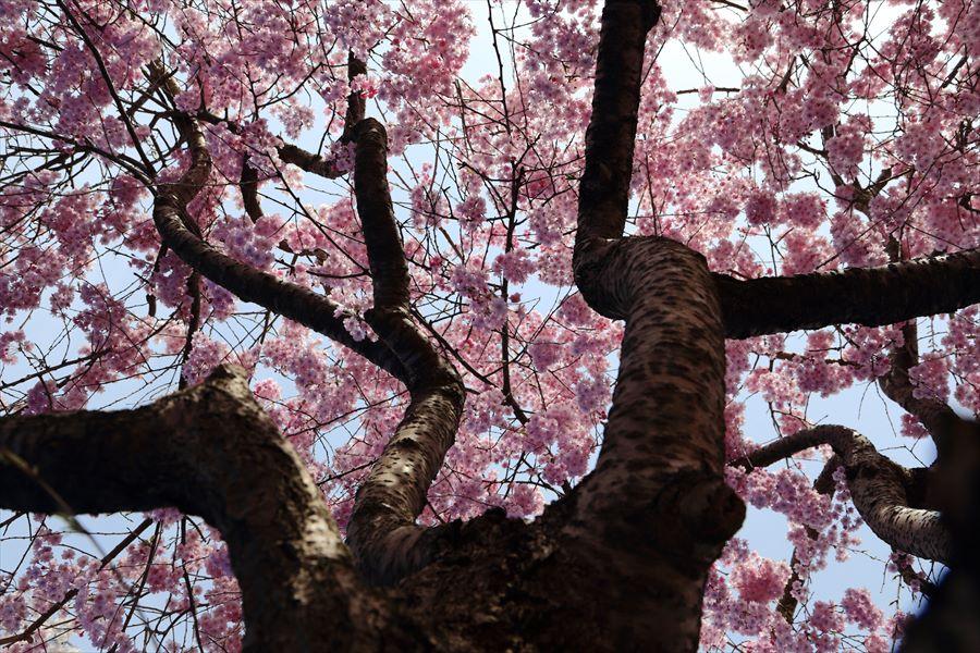 仙台榴岡公園桜花見しだれ桜見上げ05