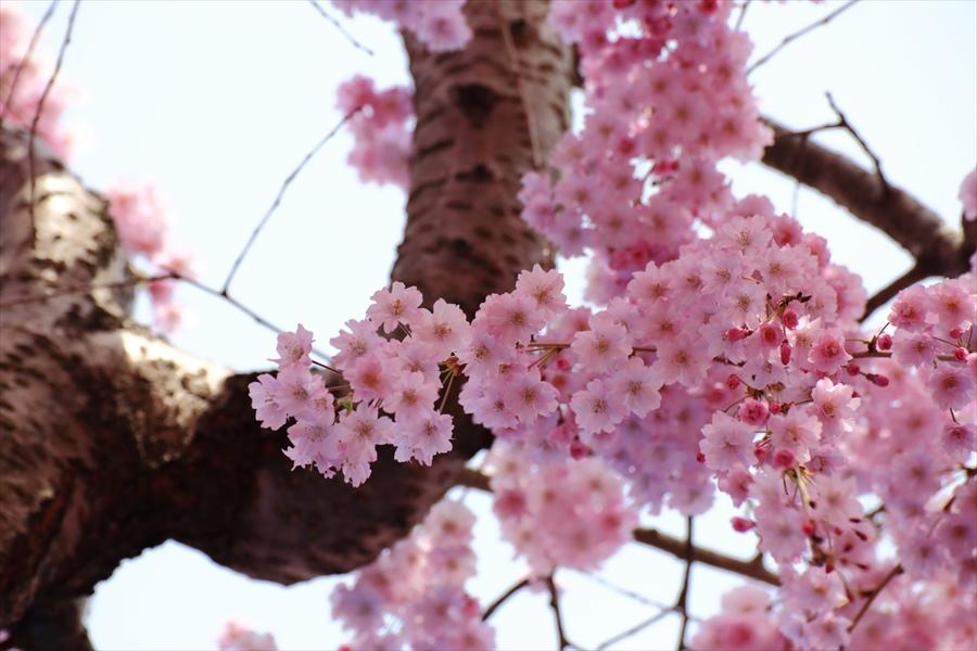 仙台榴岡公園桜花見しだれ桜見上げ桜花ちょっと06