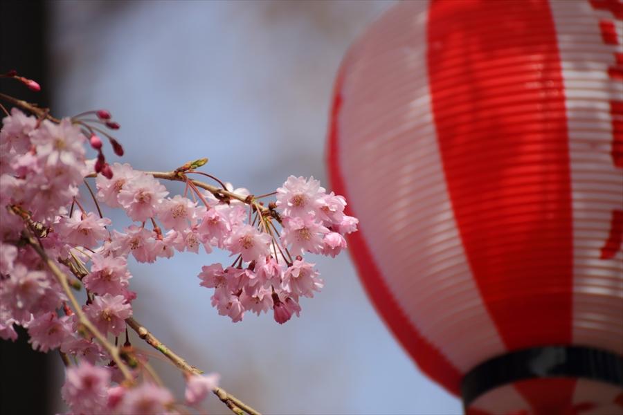 仙台榴岡公園桜花花見らしいでしょう09