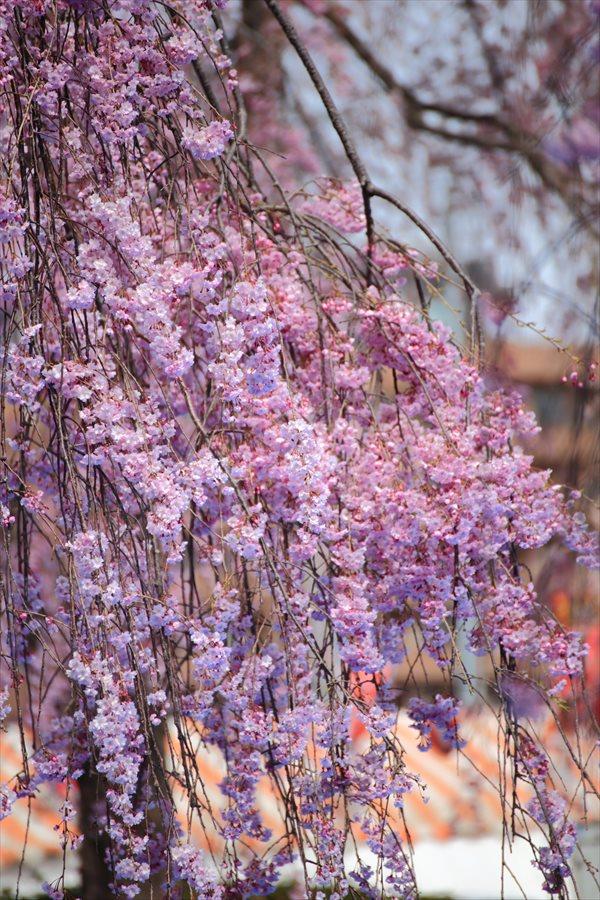 仙台榴岡公園桜花見しだれ桜こんな感じ04