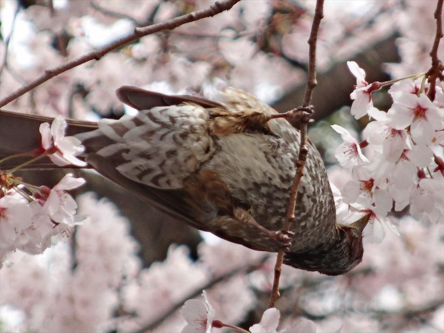 仙台榴岡公園桜その2桜花をほうばる大きな鳥HX14