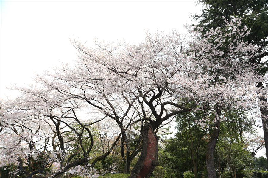 仙台榴岡公園桜その2公園大きな桜の木03
