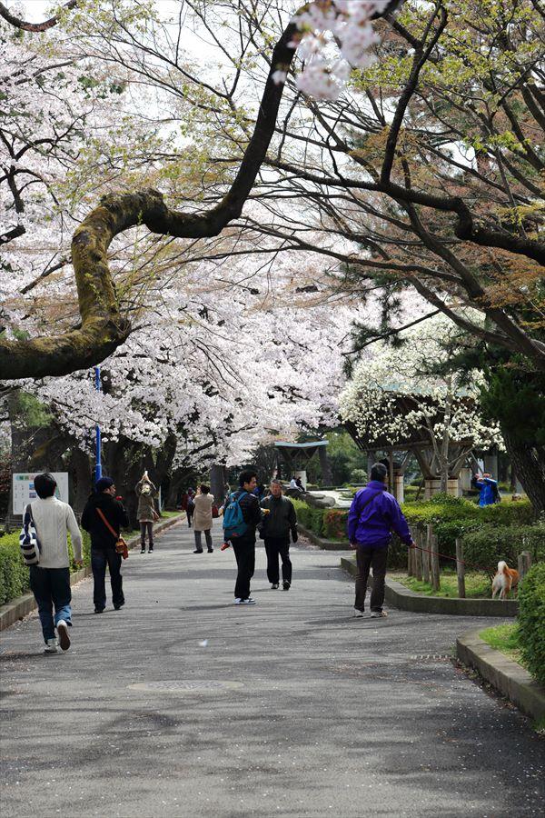 仙台榴岡公園桜その2公園散歩道02
