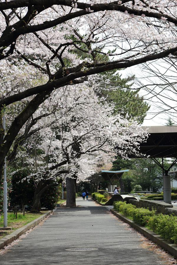 仙台榴岡公園桜その2公園紹介散歩01
