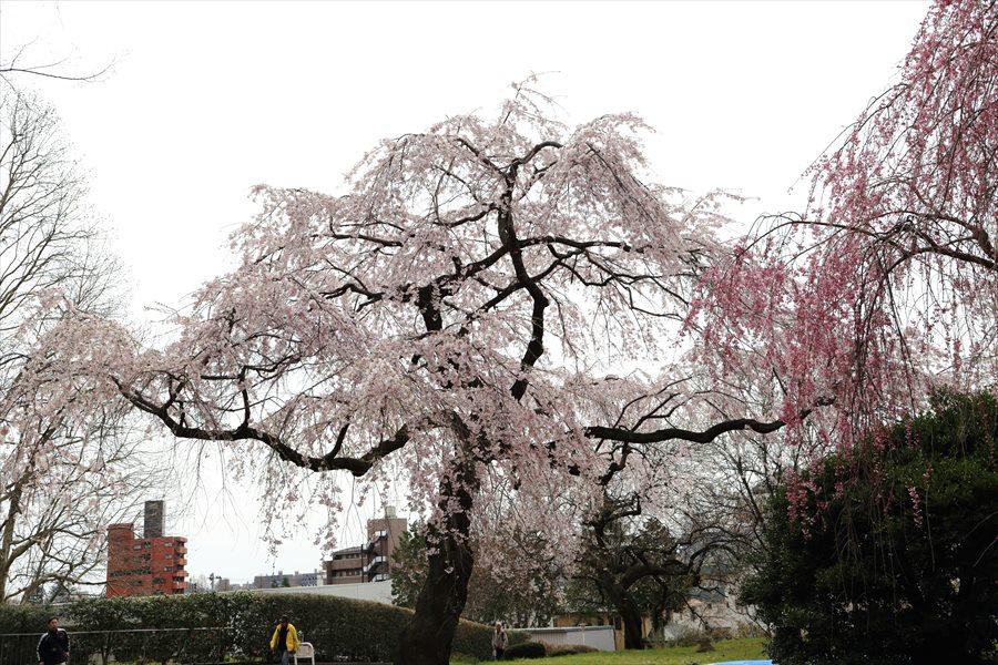 仙台榴岡公園桜その2桜06