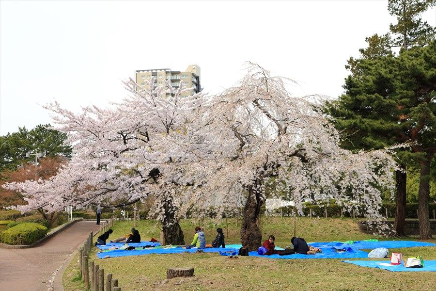 仙台榴岡公園桜その2大きな桜の木の下で07