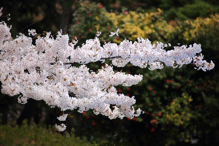 仙台榴岡公園桜その2水平桜伸ばし16