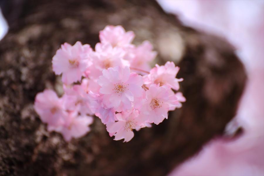 仙台榴岡公園桜その3桜塊終わり14