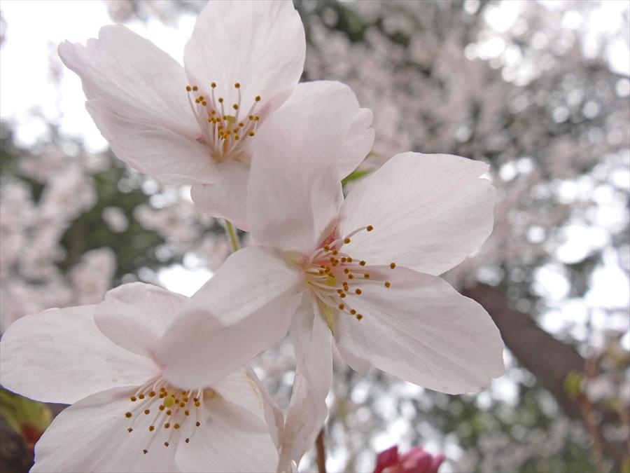 仙台榴岡公園桜花アップHX14