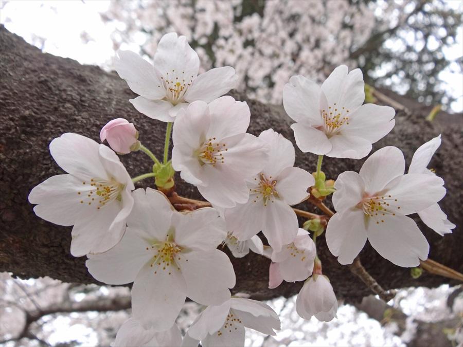 仙台榴岡公園桜花アップHX12