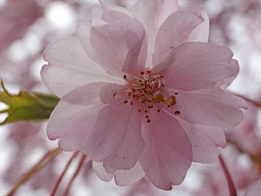 仙台榴岡公園桜花アップHX15