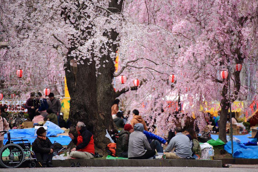 仙台榴岡公園桜その3寒い花見集団01