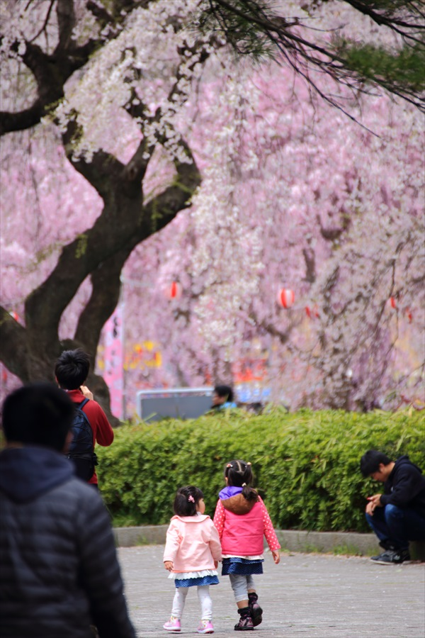 仙台榴岡公園桜その3お父さんどこで花見05