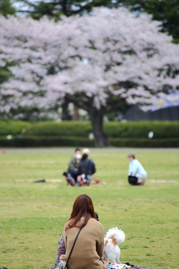 仙台榴岡公園桜その3犬も楽しんでる花見06