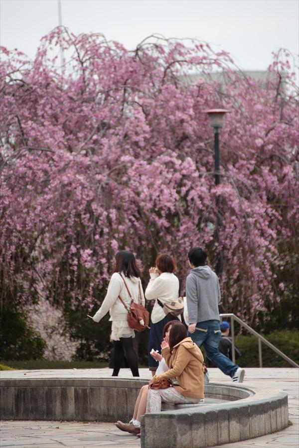 仙台榴岡公園桜その3楽しかったね花見13